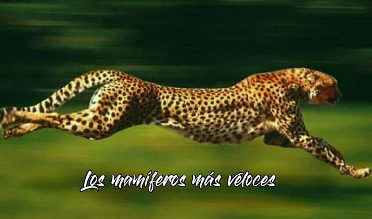Los mamíferos más rápidos del mundo